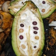 House of Anvers Maranon white Cacao bean pod